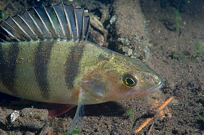 Los 10 mejores tipos de peces de agua dulce for Peces que no necesitan oxigeno